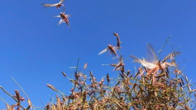 Photo of Locust attack in Rajasthan was due to Climate Change, says expert