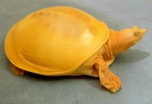Photo of NGO rescues very rare Golden Turtle